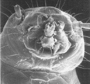 tete-foreuse-larve-tenebrion